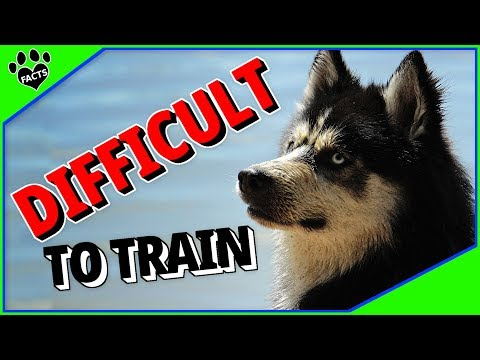 Difficult Dog Breeds to Train - 7 Stubborn Dogs