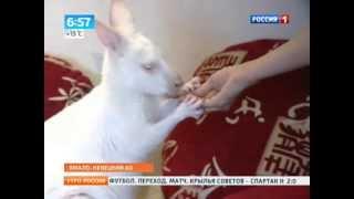 Кенгуру-альбинос поселился в Сибири