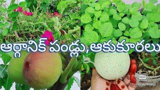 #organicfruits//నేను బీరవిత్తనాలు మళ్ళీ ఎందుకు పెడుతున్నాను వాటర్ బాటిలో తోటకూర కూడా పెంచవచ్చు//