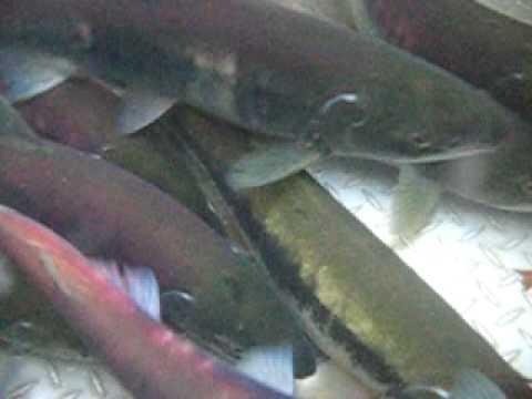 Salmon in the Cedar River