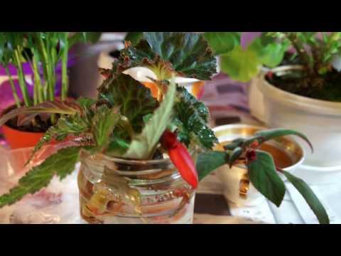 Агрия • Про Герань, комнатное растение