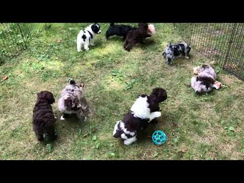 Crystals schnoodle puppies 82919 puppies still available