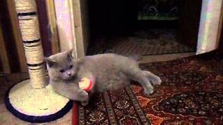 Видео британский кот, серого окраса. Смотреть британских котов(Породистый, домашний, британский кот по кличке Макс. На видео показана самая подходящая игрушка для таких..., 2014-10-29T19:13:42.000Z)