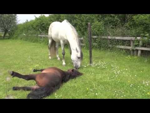 Tibor after the castration - empathy of Horses - big friend helps pony