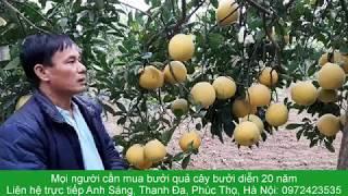 Vườn bưởi diễn 20 năm tuổi của Anh Sáng, Thanh Đa, Phúc Thọ, Hà Nội: 0972423535
