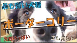 賢い犬種と言えば、ボーダーコリー!! ですが、犬が賢いと飼い主がラク...