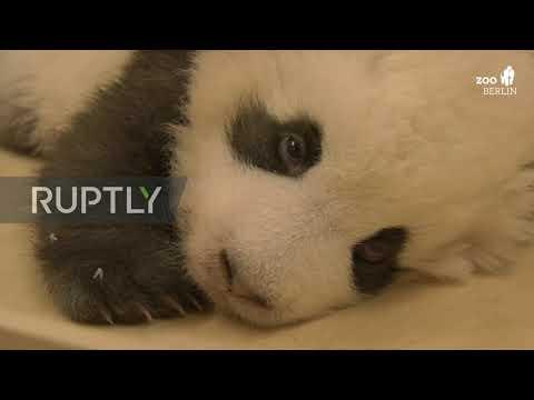 熊猫幼崽打嗝原来是这样的 超有趣!