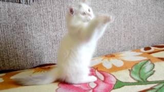 Шотландский полудлинношерстный котик Лерой ПРОДАН