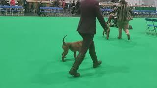 Crufts 2020, Irish Terrier, BOB