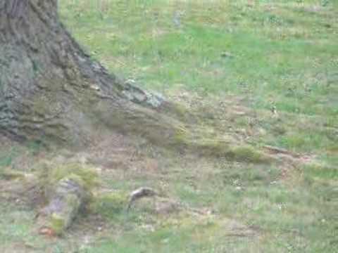 Squirrels fighting