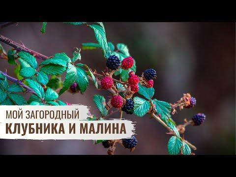 Клубника и малина — осенний уход \\ Мой Загородный \\ Серия 4
