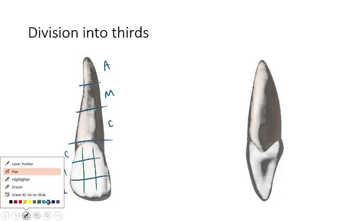 Dental Anatomy 101: Vocabulary - YouTube