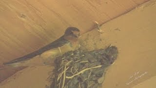 Barn Swallow Building a Nest