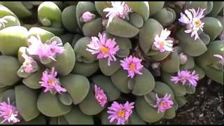 Gibbaeum dispar N.E. Brown