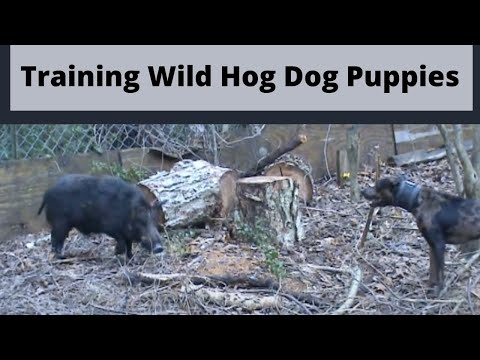 Training Our Hog Dog Puppies Molly, Ovi & Ollie! Part 2