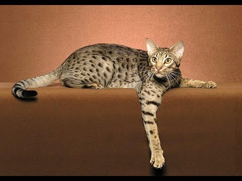 Felis Silvestris القط البري العربي Youtube
