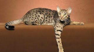 Felis silvestris القط البري العربي