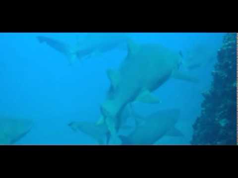 Shark Diving Wolf Rock Rainbow Beach Queensland