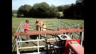 comment attraper une vache en plein champ