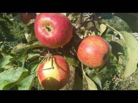 Описание летнего сорта груши Августовская роса и яблони Жигулевское.