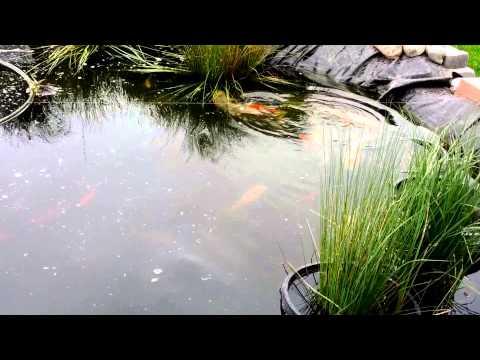 Pond Koi Fish Mating