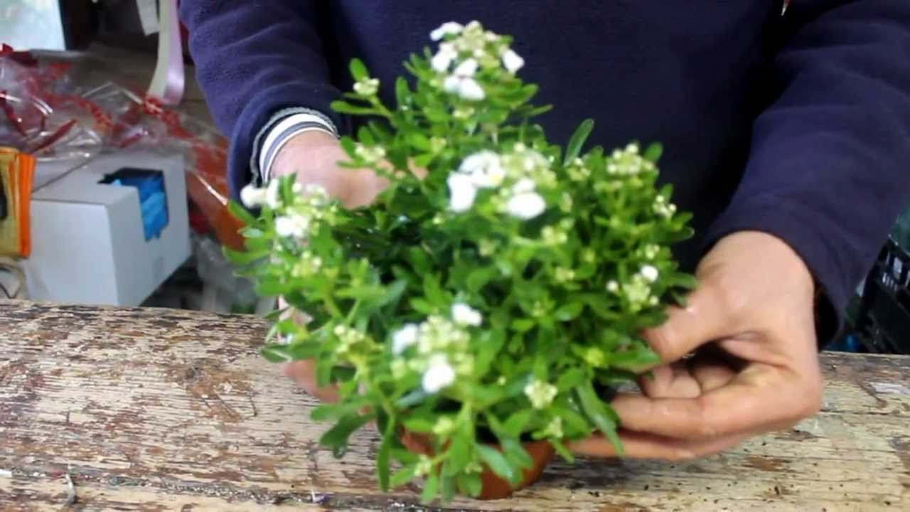 Le piante fiorite che resistono al gelo youtube for Piante fiorite perenni da esterno