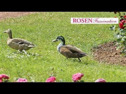 inge-burkhardt-rosenfaszination
