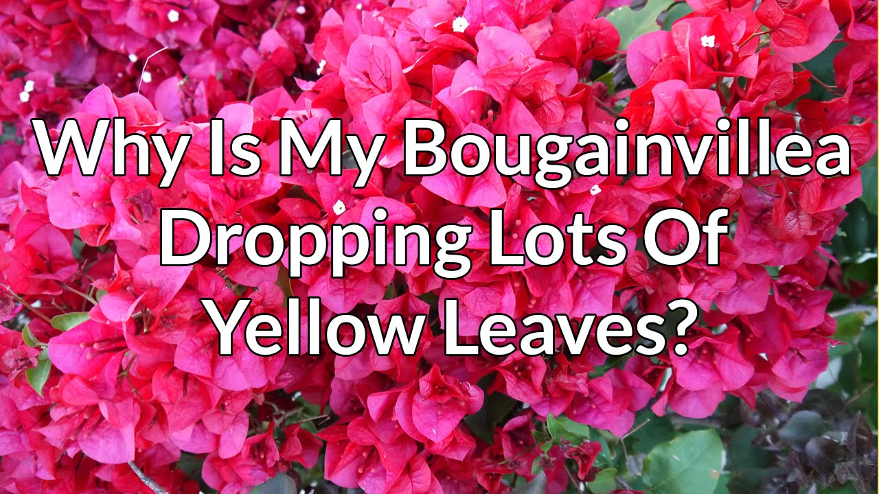 Why Is My Bougainvillea Dropping Lots Of Yellow Leaves