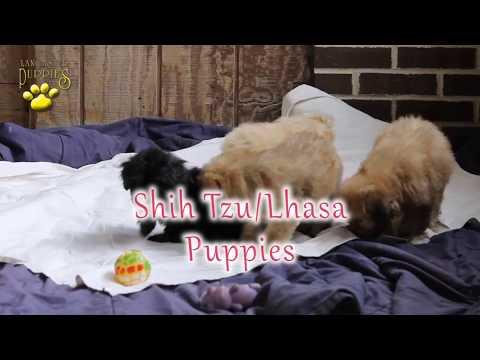 Shih Tzu/Lhasa Puppies