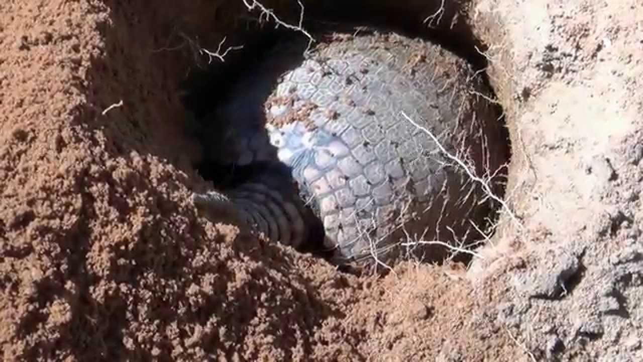 Armadillo Digging The Hole Euphractus Sexcenctus Youtube
