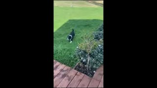 Puppy Slams Himself While Running Around Playing With Bigger Dog