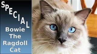 1000 Subscribers Special (Bowie The Ragdoll Cat)