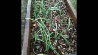 Growing Garlic In Raised Beds Outdoors For Winter Harvesting