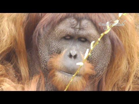 Chester Zoo Sumatran Orangutans