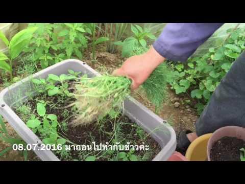 ผักชีลาว : ปลูกผักในกระถาง 06.06.2016