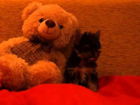 йоркширский терьер в дар, отдам в дар собаку чихуахуа