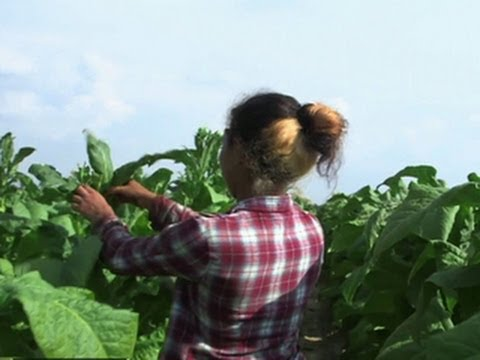 Child tobacco workers put at risk