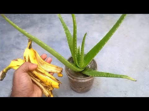 Grow aloe vera faster using banana peel fertilizer
