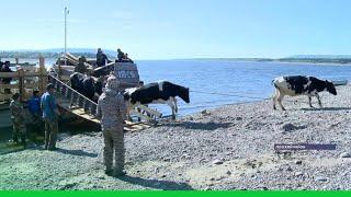 В село Батамай Ленского района Якутии на барже прибыли 100 коров