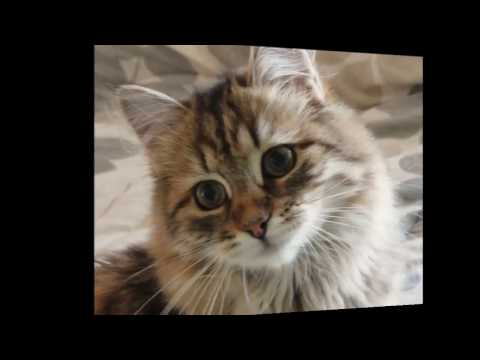 Siberian cat History,Personality,Health,Care