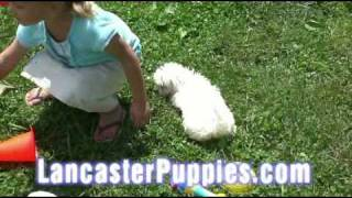 Maltese Puppies For Sale! Visa/master Card Accepted, Shipping Is Available!