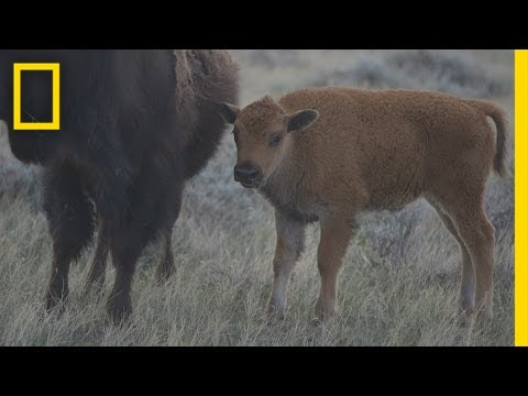 These Young Bison Could Save America's Prairie | National Geographic