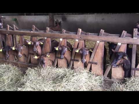 Поездка во Францию на ферму альпийских коз