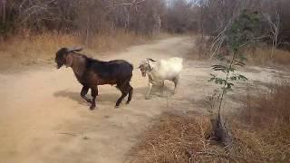 Briga entre pais de chiqueiro, reprodutores caprinos disputam rebanho na tora