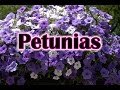 How To Grow Petunias Flowers How To Care and Keep the Petunia Blooming