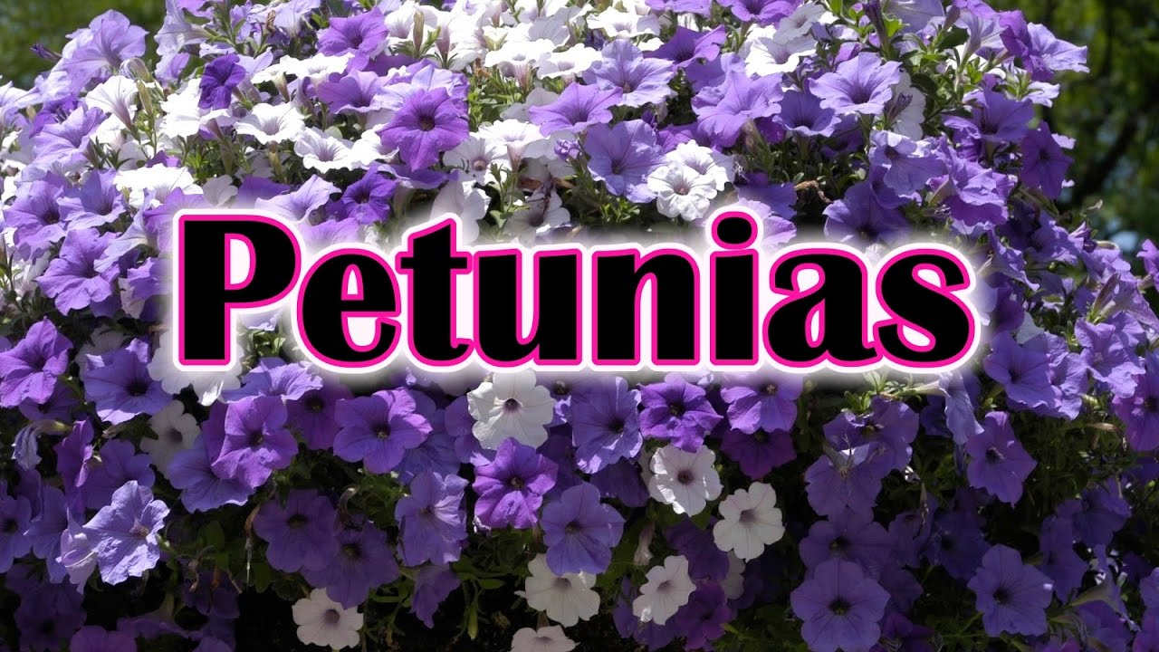 How to grow petunia from seeds - How To Grow Petunias Flowers How To Care And Keep The Petunia Blooming Youtube