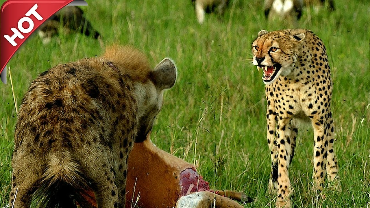 Hyena attack leopard fight to death - Cheetah vs hyena real fight - Amazing  videos 2016