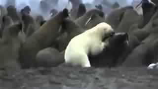 Бои животных  Белый медведь vs моржи