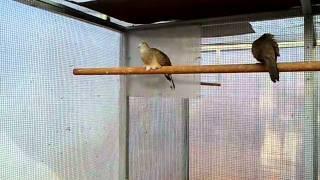 Merbok Ketitir Perkutut นกเขา�...