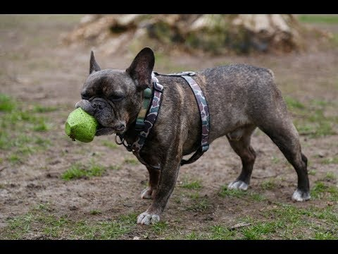 French Bulldog 101: Is the French Bulldog Right for You?